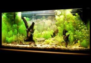 aquarium, green underwater life, fish tank, calming home office.